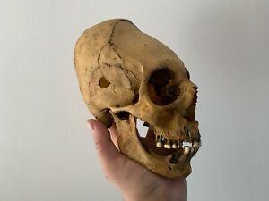 Cabinet Of Curiosities/Oddities Replica Skull Elongated Skull Replica