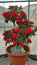 2 Rare Red Dragon Desert Rose Seeds Adenium Obesum Flower Perennial Home Garden