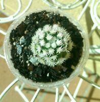 ARIZONA SNOWCAP - Mammillaria gracilis - clustering cactus succulent plant