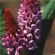 Flower - Primula vialli  Orchid Primrose - 100  Seeds