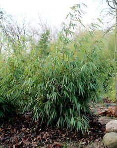 Bamboo FARGESIA Robusta PINGWU LIVE Plant bamboo SMALL CLUMP 2-3 STEMS