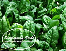 Scarborough Seeds 100 Seeds Giant Noble Spinach Non-Gmo Heirloom