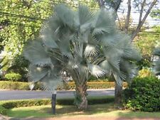 100 Bismarckia nobilis fresh palm seeds - Silver - Bismarck Palm