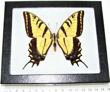 REAL FRAMED BUTTERFLY PAPILIO MULTICAUDATA YELLOW SWALLOWTAIL ARIZONA USA