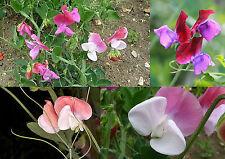25 Samen Lathyrus odoratus Mammoth Mix - Duftende Blatterbse , Edelwicke
