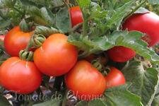 10 graines de tomate rare Sleeping Lady (Dwarf Tomato Project) méth.bio