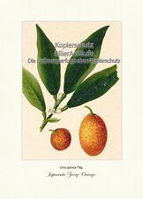 Japanische Zwerg-Orange Citrus japonica Kumquats Rautengewächse Vilmorin A4 270