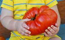 Red Behemoth King Tomato! RARE!  20 SEEDS! WE SELL OVER 200 KINDS OF TOMATOES!