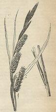 A4398 Carex acuta - Incisione - Stampa Antica del 1887