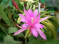 Bouture Cutting  Aporocactus  Aporophyllum  Temple Glow