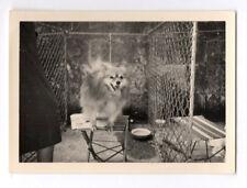PHOTO ANCIENNE N&B Petit Chien Langue Chenil Portrait Table Vers 1950 Animal