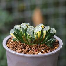 Haworthia truncata Variegated Succulent plants potted Plants Garden Decoration
