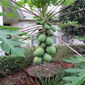 30pcs Fresh Dwarf Papaya Fruit Seeds Very Sweet Organic Fruit Garden Bonsai