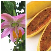 PASSIFLORA MOLLISSIMA - Edible Banana Passion Fruit Flower Plant Vine - 10 Seeds