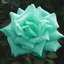 Emerald scarce rare flower seeds (20 Seeds)
