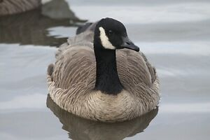 Canada Goose - Vol. 2 Taxidermy / Decoy Carving Reference Photo Cd