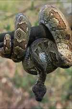 718069 Madagascan Boa Constrictor A4 Photo Print