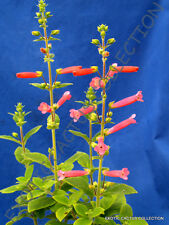 RARE SINNINGIA HYBRID red flowers @j@ exotic flowering succulent seed - 20 SEEDS