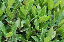 Laurus Nobilis - Alloro h 20/30 cm vaso 8  (OFFERTA 55 piante)