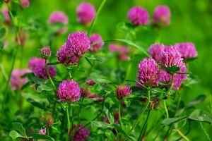 Red Clover Seeds - Wildflower Seeds - bee friendly - multiple quantities