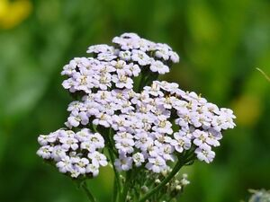YARROW 'White' 1500+ seeds medicinal herb INSECT REPELLANT flower garden Rockery