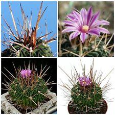 10 semi di Echinofossulocactus  hastatus ,piante grasse,seeds cactus