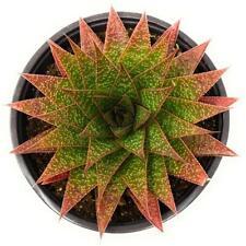 25 Seeds Gasteraloe Flow Succulent Cactus Plant Garden Cacti