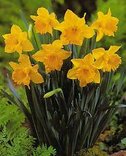 10, 20 oder 50 Großblumige Narzissen Carlton Osterglocken
