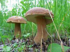 100 g Sterile KING BOLETE Cep Porcini Boletus Mushroom Spawn Seeds Mycelium