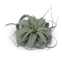 """Tillandsia Xerographica Med/Lg 5-6"""" Air Plants FREE SHIPPING SALE"""