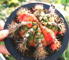Variegated cactus Succulent plants Garden decoration Plants 6-8cm