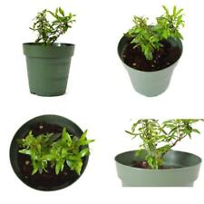 "Pomegranate Tree Sweet Plant - 4"" Pot Garden Home Fruit Best Gift Outdoor New"