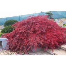 5 Lace Leaf Japanese Maple Seeds - Acer Palmatum Dissectum