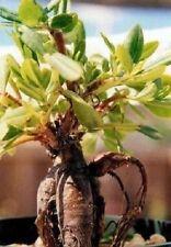 Ginseng-Wurzel Samen / Liebesgeschenke für den Mann & die Frau für Sie Ihn Düfte
