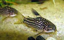 X15 ELEGANS CORYDORAS CATFISH - LIVE FRESHWATER TROPICAL CATFISH - FREE SHIPPING