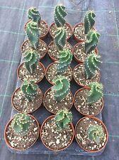Cereus forbesii spiralis x15 no ariocarpus copiapoa aztekium cactus kakteeE