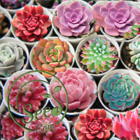 ECHEVERIA Variety Mixed Succulents Seeds Litops Rare Potted Plant Garden 10 Pcs