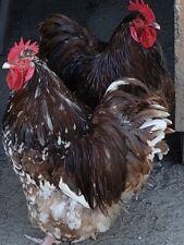 8+ 2 Chocolate Mottled Orpington Hatching Eggs
