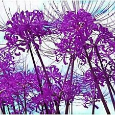 Purple Lycoris Bulb,Spider Lily,Lycoris Radiata - 5 Bulbs