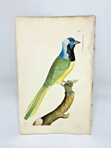 Peruvian Jay - 1783 RARE SHAW & NODDER Hand Colored Copper Engraving