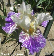 "1 ""Breaking Point"" Award Winning Beautiful Ruffled Tall Bearded Iris"