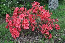 Azalee japonica pot 2 litres 30/40 cm