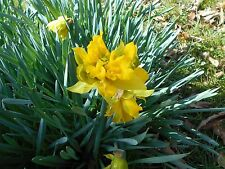 12 double daffodil bulbs