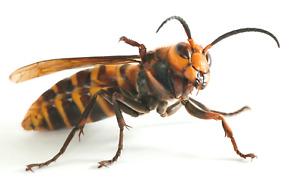 "Asian Giant Hornet ( Vespa mandarinia ) - ""MURDER WASP"" - Mt.Senage, Japan"