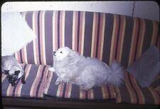 Dog Reluctantly Shares Couch With Siamese Cat Vintage 1950s Slide Photo