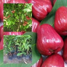 """Rose Apple plant """"Thapthim Chan"""" Tall 18"""" Wax Java Water Fruit From Thailand"""