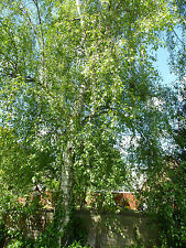 Weißbirke  Hängebirke Sandbirke 5.000 Samen  Betula Pendula