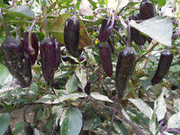 Purple Tiger Chili 10 Samen, Chilisamen