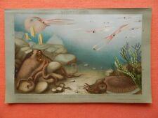 Kopffüsser Kopffüßer Cephalopoda Argonaute Kalmar Krake Sepie Lithographie 1895