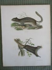 Vintage Print,Striped Squirrel,Flying Squirl,Mammals Natural History of Ny,1842